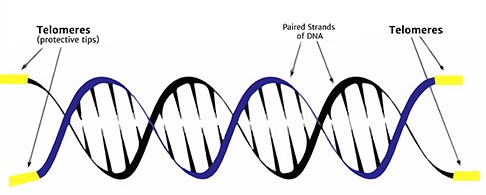 What is a Telomere?